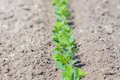 Inverdisca la pianta coltivata del fagiolo della soia nel campo, tempo di molla Fotografie Stock Libere da Diritti