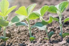 Inverdisca la pianta coltivata del fagiolo della soia nel campo, tempo di molla Immagini Stock Libere da Diritti