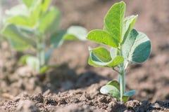 Inverdisca la pianta coltivata del fagiolo della soia nel campo, tempo di molla Fotografie Stock