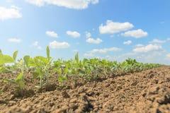Inverdisca la pianta coltivata del fagiolo della soia nel campo, tempo di molla Fotografia Stock