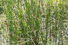 Invernada de la cola de caballo de la planta (lat Hyemale del Equisetum) Imagenes de archivo