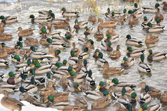Invernada de los patos salvajes en la charca de la ciudad Fotos de archivo