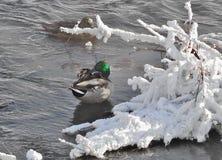 Invernada de los platyrhynchos de las anecdotarios de los patos en el río no congelado Imagen de archivo