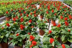 Invernadero con las flores rojas Imágenes de archivo libres de regalías