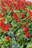 Invernadero con las flores rojas Imagenes de archivo