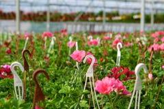 Invernadero con los Pelargonium Imágenes de archivo libres de regalías