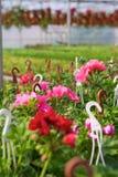 Invernadero con los Pelargonium Foto de archivo libre de regalías