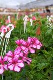 Invernadero con los Pelargonium Imagen de archivo libre de regalías