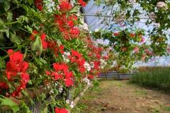 Invernadero con los Pelargonium Imagenes de archivo