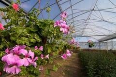 Invernadero con los Pelargonium Foto de archivo