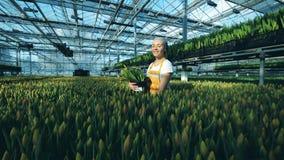 Invernadero con los tulipanes y un trabajador de sexo femenino que los recoge almacen de metraje de vídeo