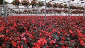 Invernadero de cristal grande con las flores Flores crecientes en invernaderos Interior de un invernadero moderno de la flor Flor metrajes