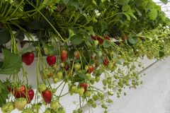 Invernadero de la fresa en los Países Bajos foto de archivo libre de regalías