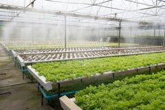 Invernadero de la verdura orgánica Imagen de archivo