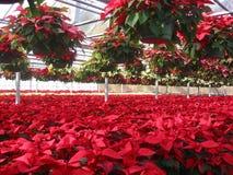 Invernadero del cultivador del Poinsettia Imagen de archivo libre de regalías