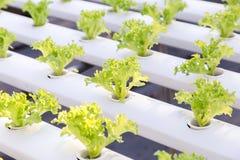 Invernadero del hidrocultivo Ensalada verde orgánica de las verduras en la granja del hidrocultivo para el diseño de la salud, de imagen de archivo