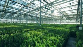 Invernadero grande con los tulipanes, creciendo en tierra en filas