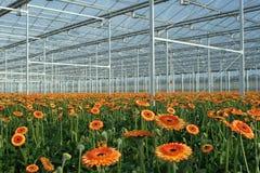 Invernadero moderno con los gerberas anaranjados Foto de archivo