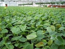 Invernadero - plantas del alfarero Foto de archivo libre de regalías