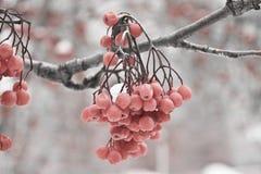 Inverno ashberry Fotografia Stock Libera da Diritti