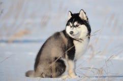 Inverno in bianco e nero del cucciolo del cane del husky siberiano Fotografia Stock Libera da Diritti