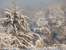 inverno branco nos pinheiros imagem de stock royalty free
