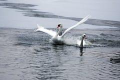 Inverno Cisnes brancas que nadam em uma lagoa Fotos de Stock