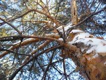 inverno da madeira de pinho fotos de stock