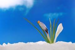 Inverno da mola: açafrão na neve Imagens de Stock Royalty Free
