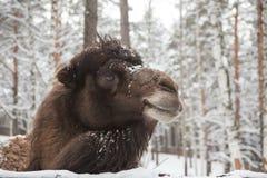 inverno da neve do camelo na exploração agrícola em Sibéria foto de stock royalty free