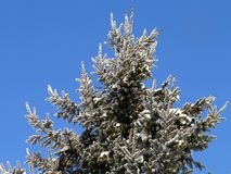 inverno de Rússia Ural os ramos cobertos de neve frios de janeiro do abeto vermelho Fotos de Stock Royalty Free