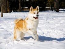 Inverno del cane del Akita Fotografia Stock