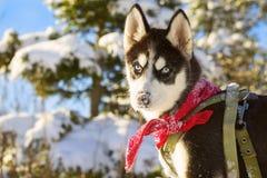 Inverno del cucciolo del husky Immagine Stock