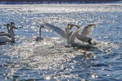 Inverno del fiume di lotta dei cigni (Cygnus del Cygnus) Immagine Stock Libera da Diritti