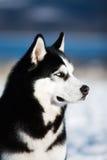 Inverno del husky Fotografia Stock