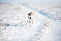 Inverno del husky Immagine Stock