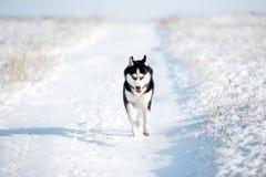 Inverno del husky Immagini Stock