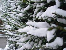 Inverno del ramoscello del pino della neve Immagini Stock Libere da Diritti
