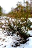 inverno dell'erica Fotografia Stock