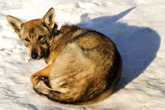 Inverno della neve del cane di animale domestico Fotografia Stock Libera da Diritti