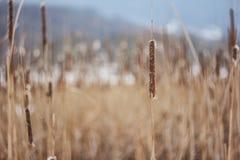 inverno della pianta del cattail Fotografie Stock