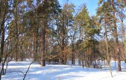 Inverno Dia ensolarado Pinery verde imagem de stock