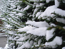 inverno do galho do pinho da neve Imagens de Stock Royalty Free