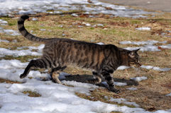 Inverno do gato de gato malhado Fotografia de Stock Royalty Free