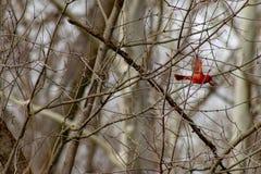 inverno do norte masculino do cardeal em voo, em uma árvore que esteja desencapada imagens de stock