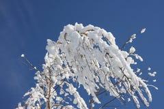 Inverno do vidoeiro Fotografia de Stock Royalty Free