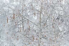 inverno do vidoeiro com folhas secadas Imagens de Stock Royalty Free