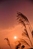 Inverno dorato Reed e sole Fotografia Stock