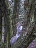 inverno dos jardins de Kew do esquilo Fotografia de Stock