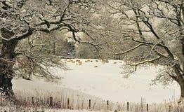 Inverno duro che pasce, Moffat, Scozia Immagini Stock Libere da Diritti
